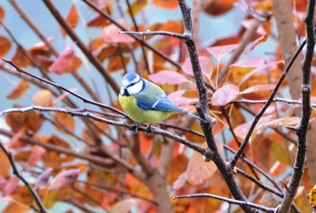 Blue tit on a tree