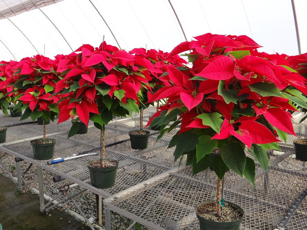 The Gallery For Gt Poinsettia Tree