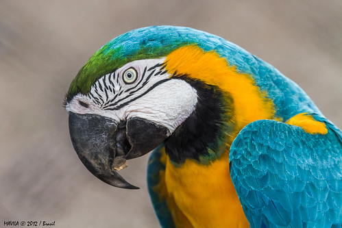 Arara-canindé (Ara ararauna) - Blue-and-yellow Macaw