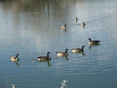 goose 020