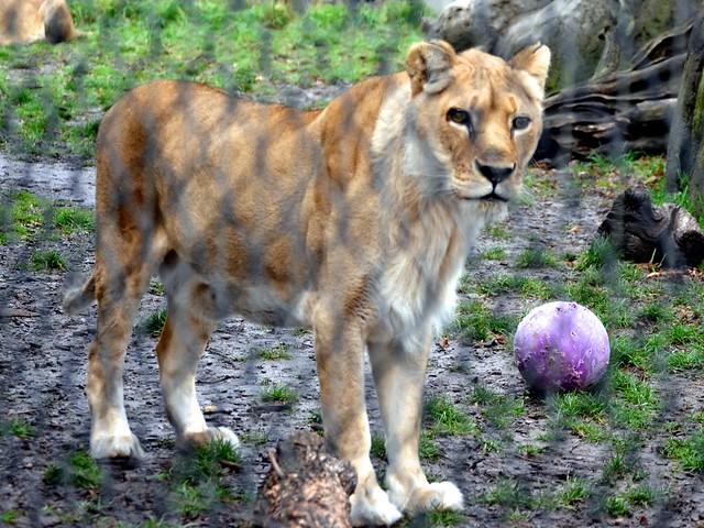 Lovely Lady Lion