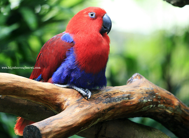 Parrot in Singapore Zoo