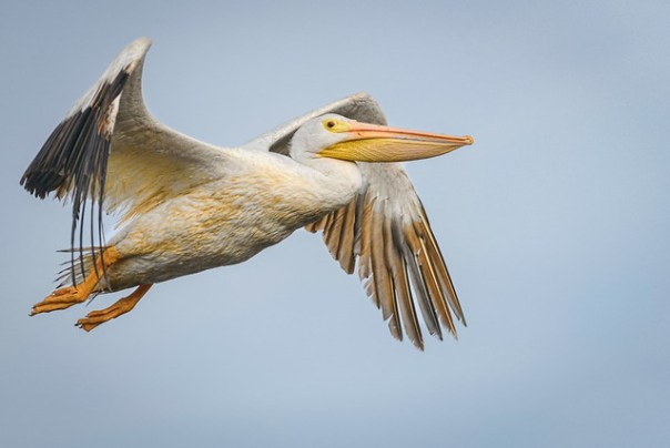 Cruising White Pelican