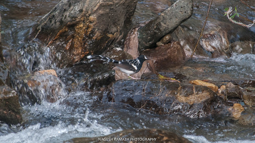 Spotted Forktail