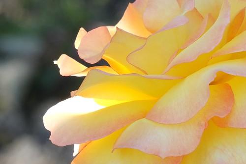 Solitarie Rose_0006.jpg by Patricia Manhire