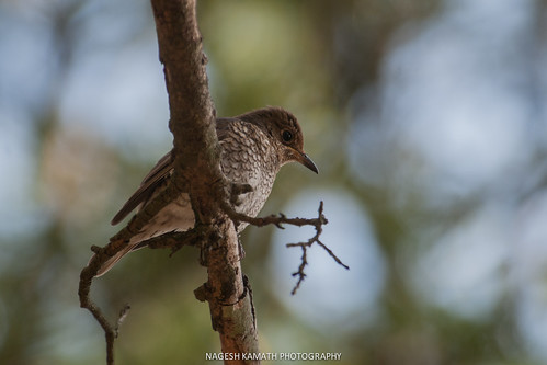 Blue-capped Rock Thrush (Female)