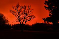 Orange Tree 3 of 4