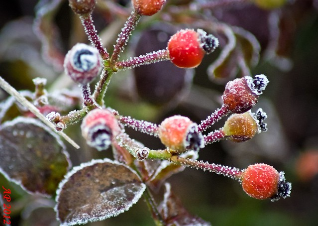 Cynorrhodons glacés / Frozen Rose Hips
