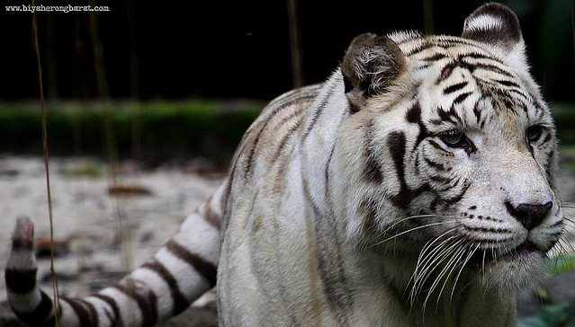 White Tiger in Singapore