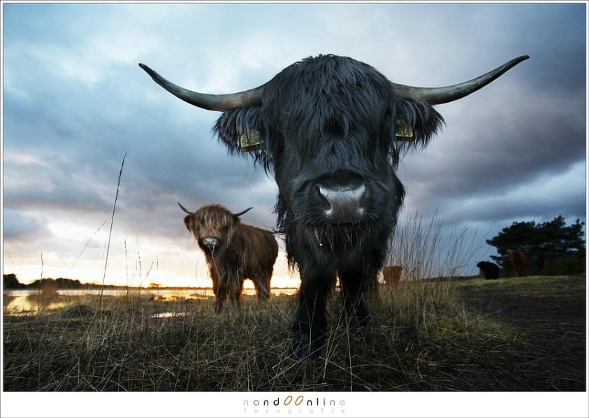 Schotse hooglanders kunnen heel nieuwsgierig zijn