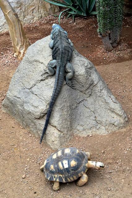 Blue Iguana and Radiated Tortois