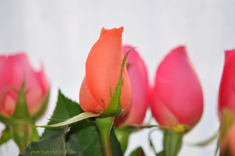 coral_rose_web