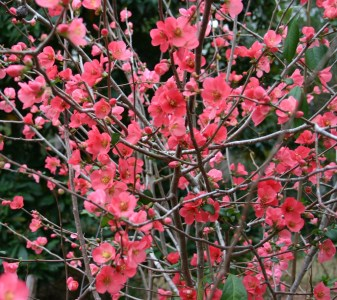 Quince Branches