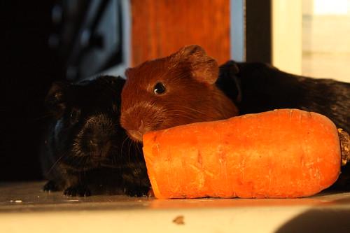 Big Carrot, Little Piggies