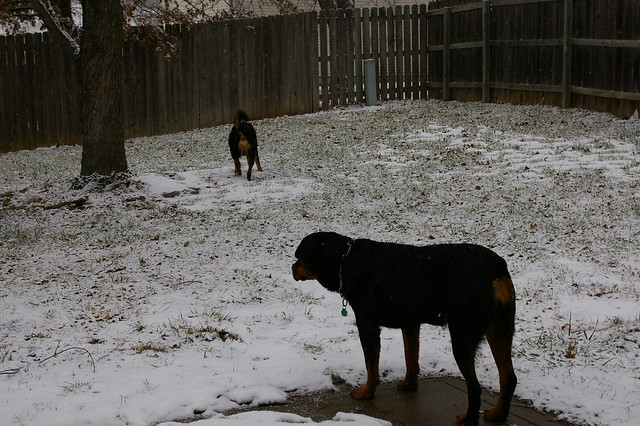 Snow Falling on Rottweilers