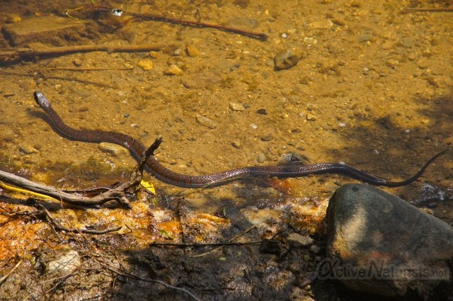 northern water  snake 0015 Harriman park, NY, USA