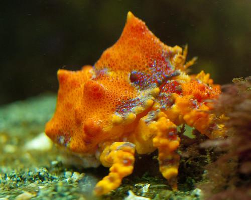 Juvenile Puget Sound King Crab