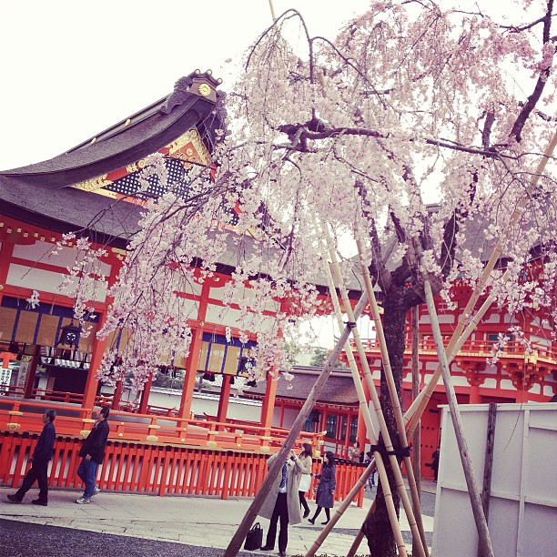 #sakura sighting at the Fushimi Inari shrine in #kyoto :D #japan2013 #cherryblossoms #travel #instatravel #iphoneasia