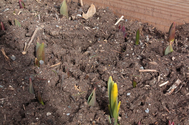 The tulip bed