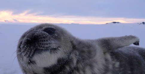 Wedell Seal Pup