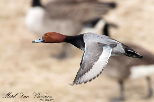 Redhead Drake In Flight