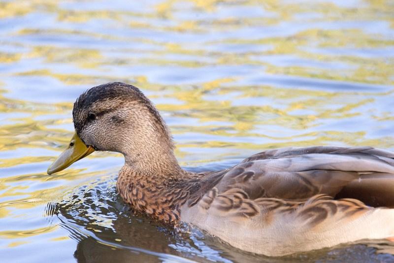 _DSC5186 American Black Duck