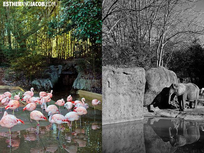 Flamingos and Elephants at Zoo Atlanta | Tourists at Home Atlanta Edition