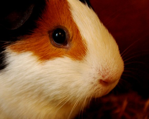 20130323-13_Patch - Guinea Pig or Cavy by gary.hadden