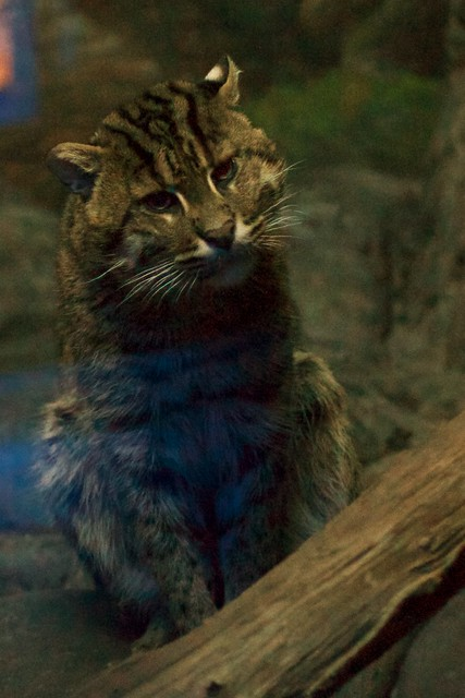 Curious Fishing Cat