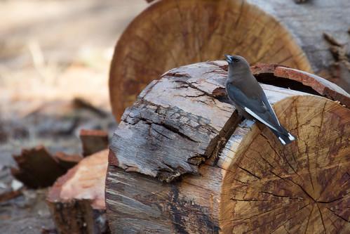 Dusky Woodswallow 2013-01-20 (_MG_9974)