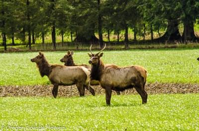 wild elk on our flower farm