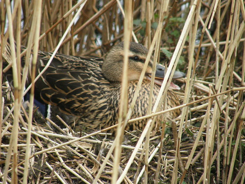 Nesting Mallard