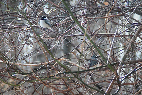 Chickadee and Titmouse