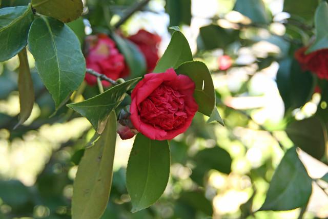 {15/365} Camellia