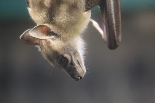 Egyptian Fruit Bat (3)