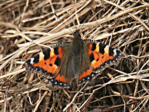 Small Tortoiseshell Aglais urticae Tophill Low NR, East Yorkshire April 2013