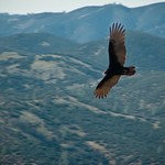 Turkey Vulture at Pinnacles