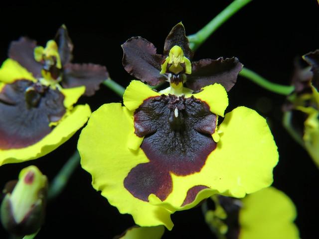 1346 - Oncidium varicosum var. Baldin