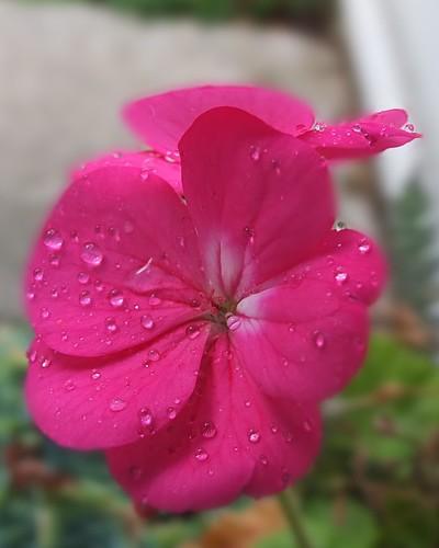 Geranium flowers_0004.jpg by Patricia Manhire