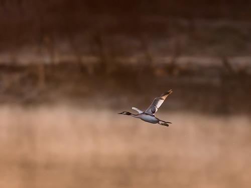 Great-crested grebe-dawn flight