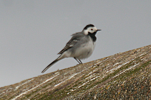 White Wagtail Motacilla alba alba Tophill Low NR, East Yorkshire April 2013
