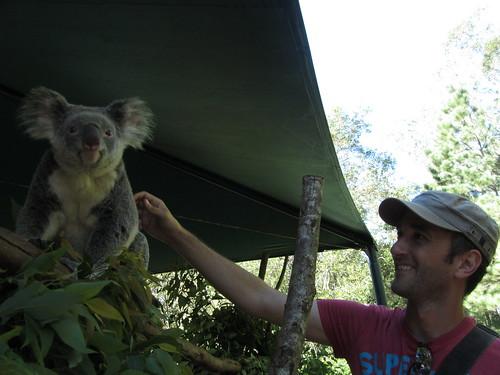 koala stroking