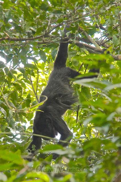 spider monkey 0003 Palenque, Chiapas, Mexico