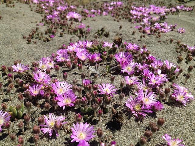 Pink crystalline ice plant