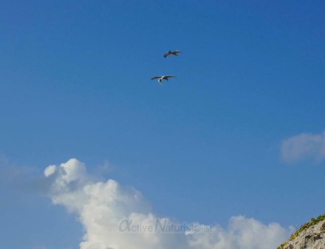 pelicans 0016 Tulum, Quintana Roo, Mexico