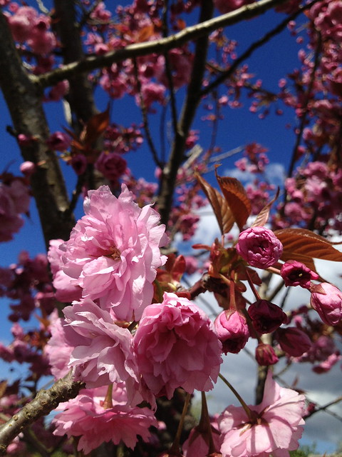 Kwanzan cherry blossoms
