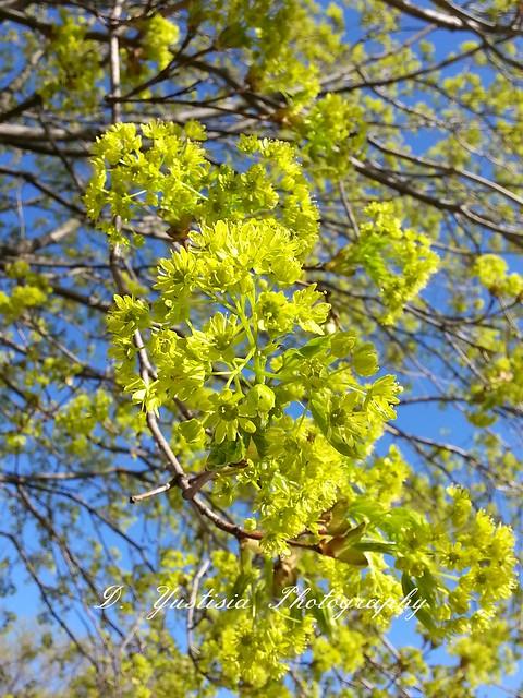 Accer saccharum (Sugar Maple) flowers