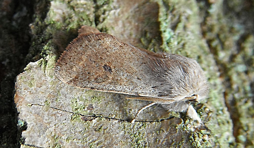 Small Quaker Orthosia populeti Tophill Low NR, East Yorkshire April 2013