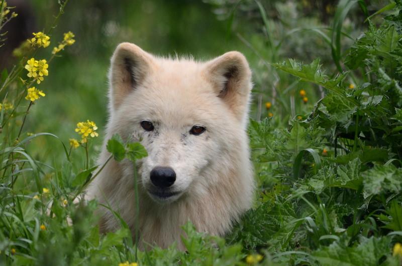Alaska Tundra Wolf Female