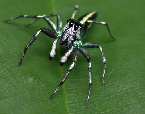 matthew-spider (Cosmophasis umbratica)